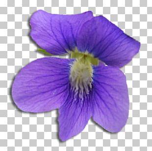 Violet Flower Purple Sigma Kappa Sigma Sigma Sigma PNG
