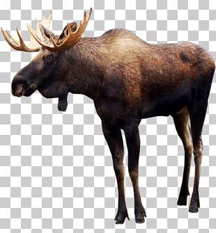 Moose Deer PNG
