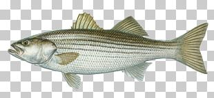 International Game Fish Association Hybrid Striped Bass Largemouth Bass PNG