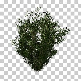 Evergreen Shrub Leaf PNG