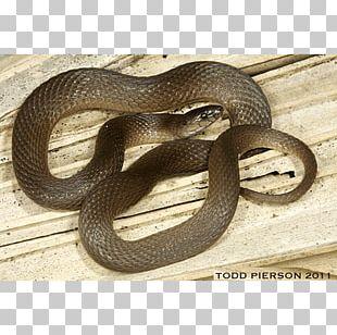 Kingsnakes Hognose Snake Grass Snake Elapid Snakes PNG