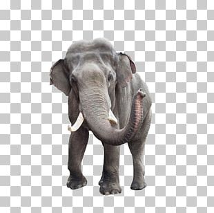 African Bush Elephant Indian Elephant Stock Photography PNG