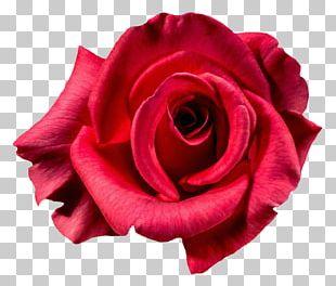 Garden Roses Centifolia Roses Flower Red PNG