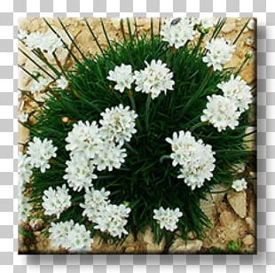 Evergreen Candytuft Armeria Maritima Perennial Plant Rock Garden Ornamental Plant PNG