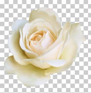 Garden Roses Dress Code Centifolia Roses Suit PNG