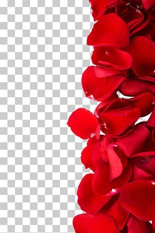 Beach Rose Red Color Dia Dos Namorados Photography PNG