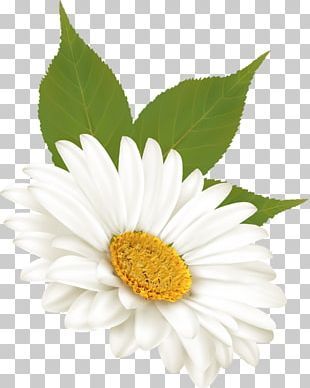 Common Daisy Flower Tulip PNG