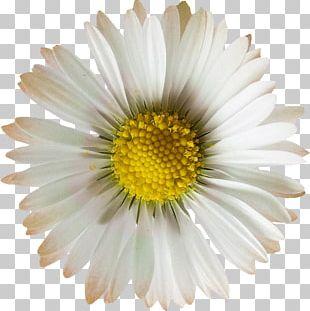 Oxeye Daisy Chrysanthemum Daisy Family Argyranthemum Frutescens Flower PNG