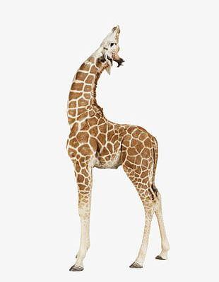 Giraffe Africa PNG