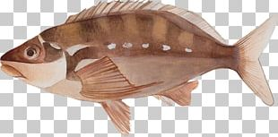 Marine Biology Fauna Tilapia Oily Fish PNG
