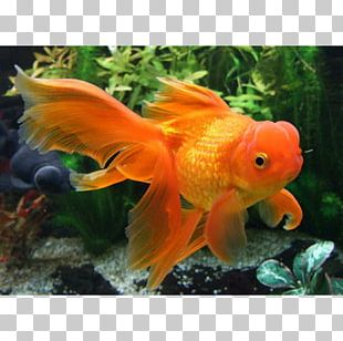 Red Cap Oranda Veiltail Common Goldfish Ryukin PNG