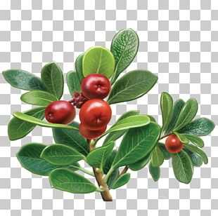 Bearberry Herbal Tea Organic Food Grape PNG