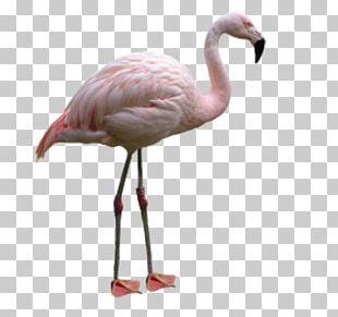 Flamingo Bird File Formats PNG