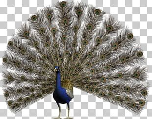 Bird Pavo Asiatic Peafowl Feather PNG