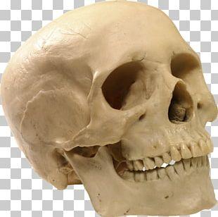 Human Skull Human Skeleton PNG