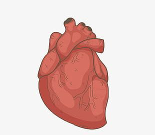 Hand Drawn Human Heart PNG