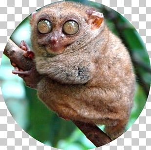 Pygmy Slow Loris 21 Funny Looking Animals: Extraordinary Animal Photos & Facinating Fun Facts For Kids Monkey Primate Spectral Tarsier PNG
