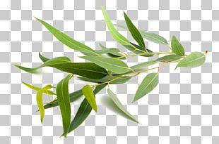 Eucalyptus Globulus Eucalyptus Radiata Eucalyptus Polyanthemos Eucalyptus Oil Stock Photography PNG
