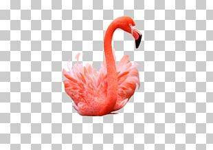 Flamingo Photography PNG