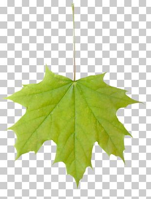 Sugar Maple Maple Leaf Acer Macrophyllum Tree PNG