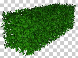 Herbaceous Plant Lawn Ryegrass Groundcover PNG
