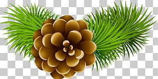 Conifer Cone Stock Photography Pine PNG