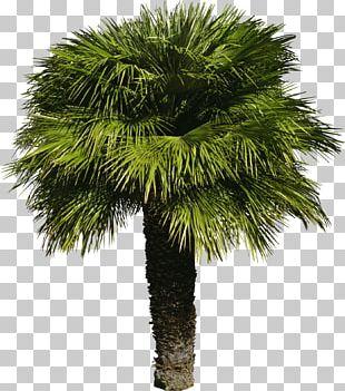 Tree Arecaceae Shrub PNG
