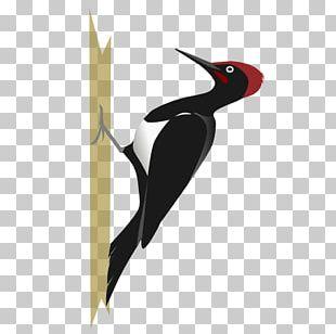 White-bellied Woodpecker Bird Black-rumped Flameback PNG