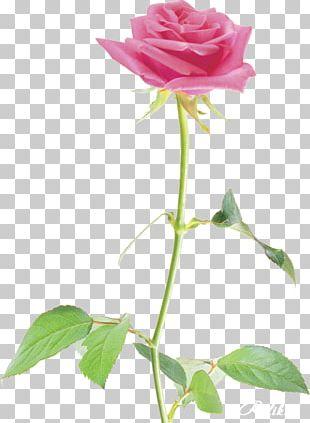 Garden Roses Cabbage Rose China Rose Floribunda Beach Rose PNG
