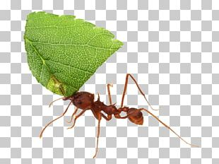 Texas Leafcutter Ant Acromyrmex Atta Cephalotes Insect PNG