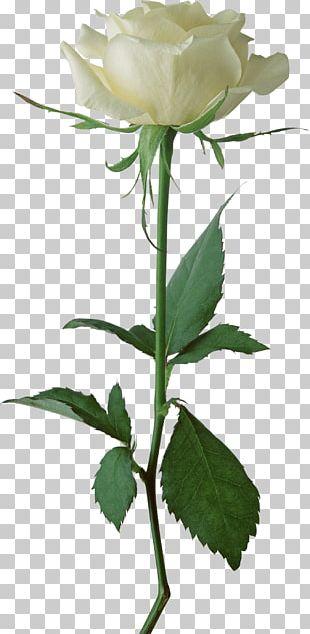 White Rose Single PNG