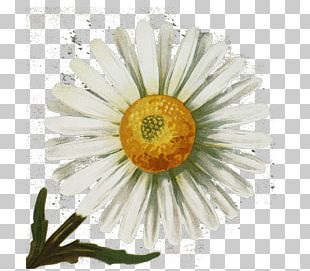 Common Daisy Vintage Clothing Antique PNG