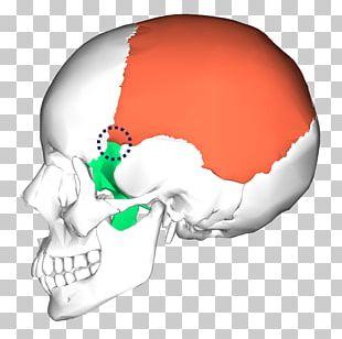 Occipital Bone Skull Temporal Bone Anatomy PNG