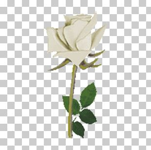 Beach Rose Flower Rosa Multiflora PNG