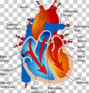 The Cardiovascular System Circulatory System Heart Human Body Anatomy PNG