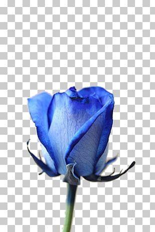 Blue Rose Garden Roses Cut Flowers Gardening PNG