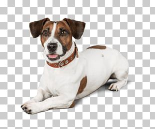 Jack Russell Terrier Dog Breed Puppy Danish–Swedish Farmdog Miniature Fox Terrier PNG