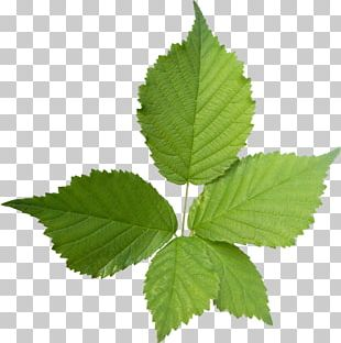 Mint PNG