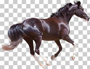 Friesian Horse Morgan Horse American Quarter Horse Black Forest Horse Stallion PNG