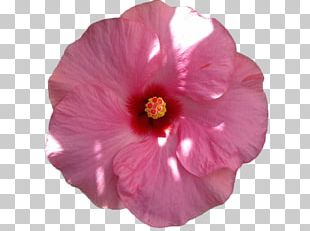 Common Hibiscus Pink Flowers Petal PNG