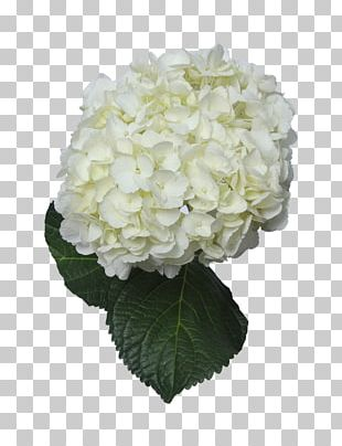 Hydrangea Cut Flowers Floral Design White PNG