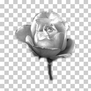 Black And White Garden Roses Blog Photography Grayscale PNG