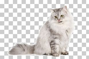Burmilla Persian Cat Exotic Shorthair Kitten German Longhaired Pointer PNG