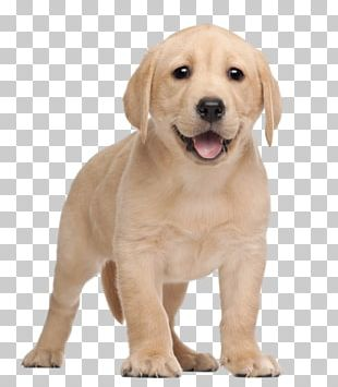 Labrador Retriever Puppy Yorkshire Terrier PNG