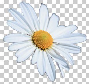 Chrysanthemum Oxeye Daisy Petal White PNG