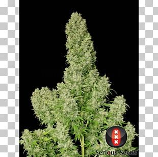 White Russian White Widow Seed Black Russian Cannabis PNG