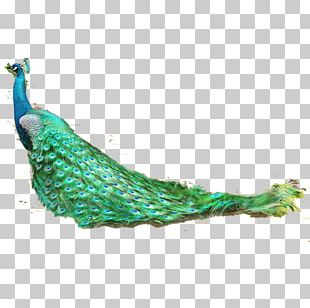 Feather Bird Asiatic Peafowl PNG