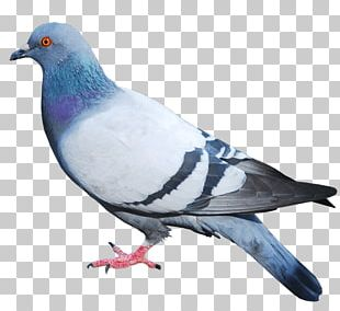 Columbidae Domestic Pigeon Squab Bird PNG