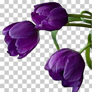 Tulip Cut Flowers Purple Violet PNG