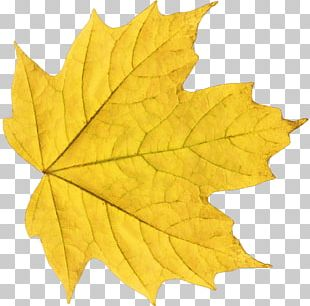 Autumn Leaf Color Yellow PNG